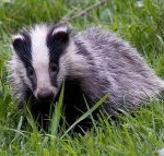 The lives of badgers lay in the hands of Amber Rudd MP