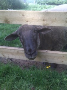 "One happy rescued sheep says, ""Hello!"""