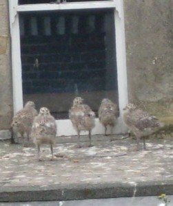 Here they are! Five baby Herring Gulls looking at their reflection in a window imagining what 500 baby Herring Gulls would look like.