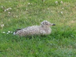 This baby Herring Gull fall off a neighbouring roof today and ended up sitting on the grass outside. This photograph was taken before she was taken to the RSPCA's nearby Mallydams rescue centre.