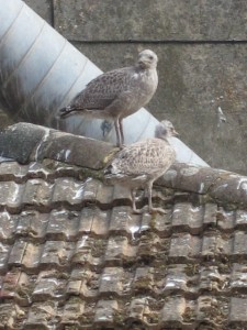 Here it's possible to see the difference in size and feather colour between an older and younger baby Herring gull.