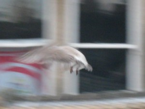 Flying baby gull!