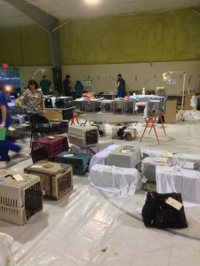 The spay-a-thon was held in a school gymnasium. The floor was covered in large sheets of plastic. Cats arrived in different types of carriers. Sheets and towels were laid over the cages to help keep the cats calm.